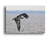 Fishing Creek Framed Prints - Osprey Grab Framed Print by Brian Wallace