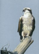 North American Wildlife Drawings Posters - Osprey Poster by Heather Mitchell