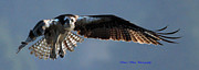 Ed Nicholles Acrylic Prints - Osprey In Flight Acrylic Print by Ed Nicholles