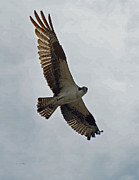 Birds In Flight Photos - Osprey in Flight by Ernie Echols