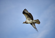 Fish Eating Birds Framed Prints - Osprey in flight Framed Print by John Greim
