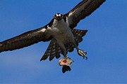 Osprey Prints Framed Prints - Osprey in Flight Framed Print by Paul Marto