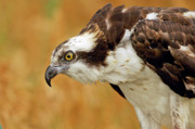 Alaska Prints Prints - Osprey Print by James Steele