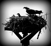 Bird Of Prey Greeting Card Posters - Osprey Nesting I Poster by Sheri McLeroy