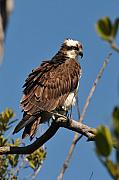Osprey Tapestries Textiles Acrylic Prints - Osprey on Perch Acrylic Print by Alan Lenk
