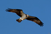 Birds - Osprey or Fish Hawk DRB012 by Gerry Gantt