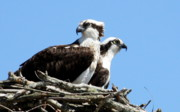 Anne Babineau Framed Prints - Osprey Pair Framed Print by Anne Babineau
