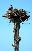 Coastal Birds Posters - Osprey Point Poster by Karen Wiles