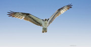 Osprey Florida Framed Prints - Osprey Soar Search Framed Print by Deborah Benoit