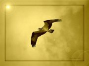 Osprey Florida Framed Prints - Osprey Soaring into Golden Sunlight Framed Print by Carol Groenen