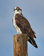 Detailed Originals - Osprey Staredown by Tom Cheatham