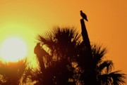 Sabal Palm Trees Prints - Osprey Sunset Print by Don Youngclaus