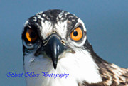 Ed Nicholles Acrylic Prints - Osprey Up Close Acrylic Print by Ed Nicholles