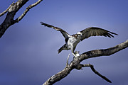 Bird Photographs Metal Prints - Osprey WIld Metal Print by Rob Travis