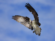 Jim Cumming Art - Osprey Wingspan by Jim Cumming
