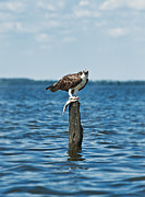 Fish Eating Birds Framed Prints - Osprey with catch. Framed Print by John Greim