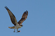 Fish Print Prints - Osprey with Fish in Talons Print by Stephanie McDowell