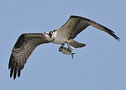Osprey With The Catch Of The Day Print by Thomas Photography  Thomas