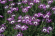 Whirligig Photos - Osteospermum Cannington John by Adrian Thomas