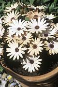 Potted Flowers Prints - Osteospermum serena Print by Adrian Thomas