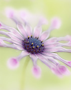 Whirligig Prints - Osteospermum Whirligig Print by Martin Williams