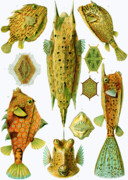 Fathers Day Drawings - Ostraciontes Boxfish by Ernst Haeckel