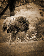Ostrich Photo Framed Prints - Ostrich Framed Print by Arne Hansen