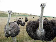Ostrich Photos - Ostrich call by Robert Hirsch