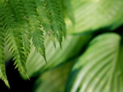 Ostrich Photos - Ostrich Fern and Hosta by Diane Merkle