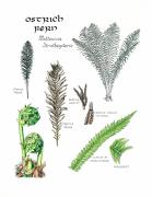 Nature Study Prints - Ostrich Fern Study Book Page Print by Betsy Gray