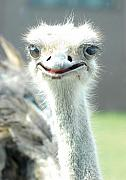 Ostrich Photos - Ostrich Grin by Steve Somerville
