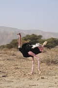 Ostrich Photo Prints - Ostrich In A Nature Reserve Print by Photostock-israel