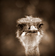 Ostrich Photo Framed Prints - Ostrich in Sepia Framed Print by Tam Graff