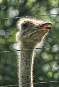 Pittsburgh Zoo Framed Prints - Ostrich Framed Print by Norma Rowley