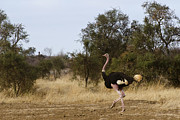 Ostrich Photo Framed Prints - Ostrich Prance Framed Print by Marion McCristall