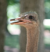 Ostrich Photos - Ostrich by Veronica Ventress