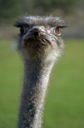 Ostrich What A Face Print by Laura Mountainspring