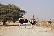 Ostrich Photo Prints - Ostriches In A Nature Reserve Print by Photostock-israel