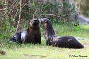 Florida Nature Photography Originals - Otter Buddies by Barbara Bowen
