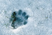 Animal Paw Print Prints - Otter Footprint In Snow Print by Duncan Shaw