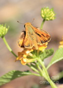 Yellow Flowers Posters - Ottoe Skipper Butterfly on Yellow Flowers Poster by Carol Groenen