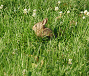 Outdoors Photos - Our Baby Bunny by Heather Chaput