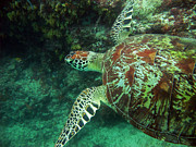 Green Sea Turtle Photos - Out for a Swim by JP Lawrence