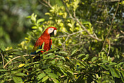 Scarlet Macaw Prints - Out for Lunch Print by JP Lawrence