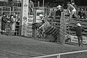 Bulls Metal Prints - Out Of The Chute Metal Print by Shawn Naranjo