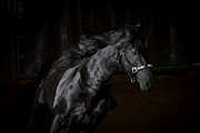 Thoroughbred Gelding Prints - Out Of The Darkness D4367 Print by Wes and Dotty Weber