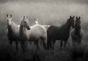 Black And White Horse Framed Prints - Out of the Mist Framed Print by Ron  McGinnis
