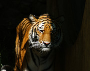 The Tiger Metal Prints - Out of the Shadows Metal Print by Ernie Echols
