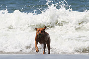 Water Retrieve Framed Prints - Out of the Waves Framed Print by Renae Frankz