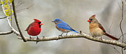 Male Cardinals Prints - Out on a limb . . . Print by Bonnie Barry